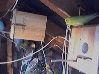Breeding Budgies Indoors